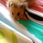 adpop hamster WeLovePoppy 150x150 With Addie